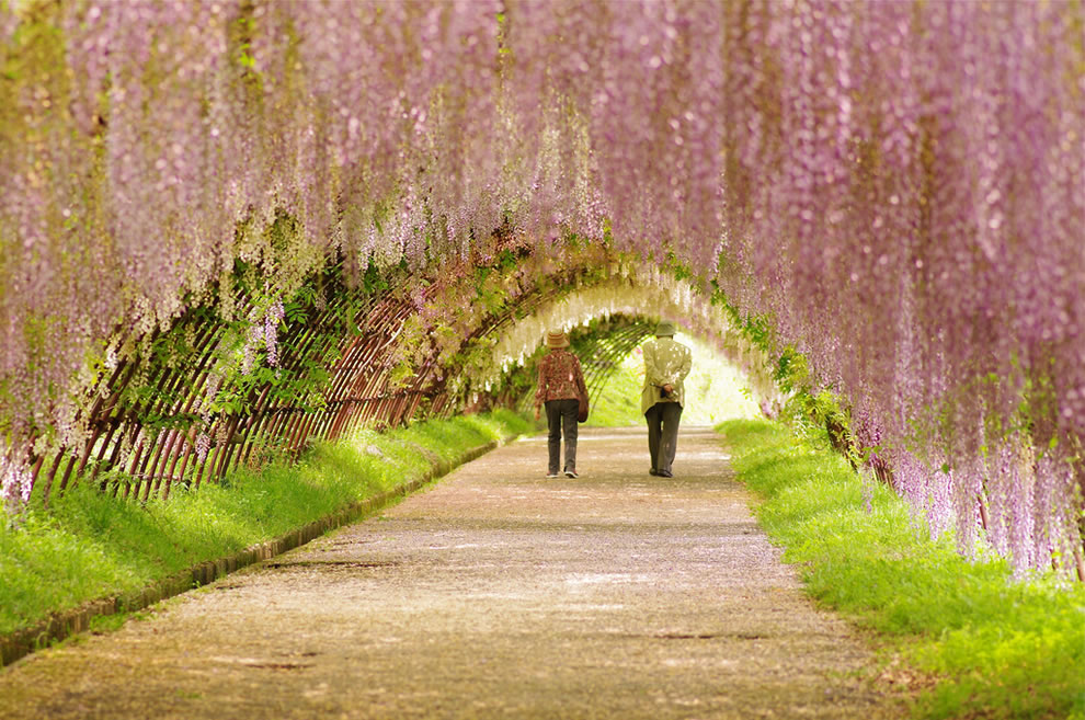 Couple-strolling-under-wisteria-tunnel-in-Japan