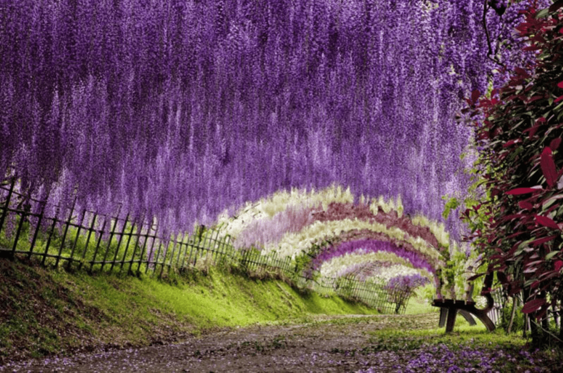 wisteria-tree-tunnel-wallpaper-3